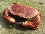 Crab_60